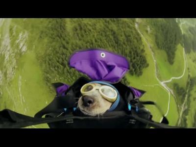 Insolite : un chien saute en wingsuit avec son maître