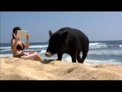 Kamapua'a : un porc qui fait du surf