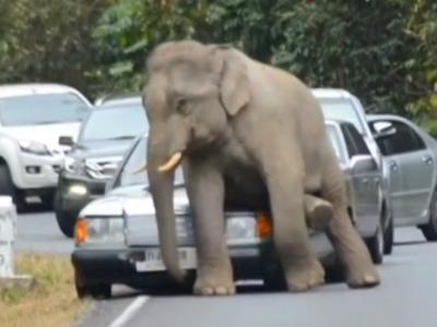 Quand un éléphant sauvage s'assied sur une Mercedes