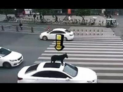 Le propriétaire d'un animal met son chien sur le toit de sa voiture sans protection pendant qu'il conduit