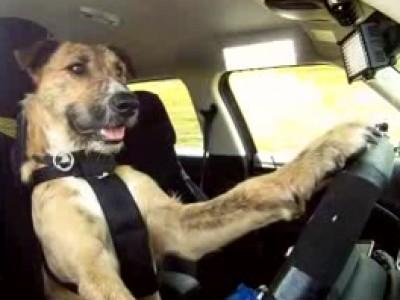 Porter, un chien qui sait conduire !