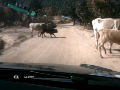 Grosse frayeur pour Sébastien Ogier et un troupeau de vaches
